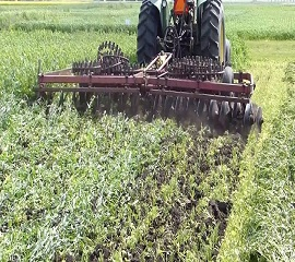 Green Manure: What should farmers know before application?